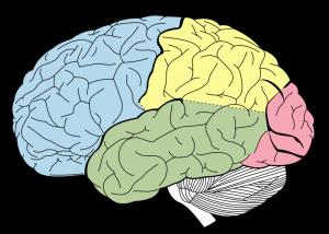 brain regions - learn english